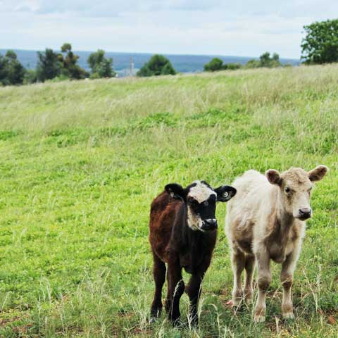 a pair of baby calves