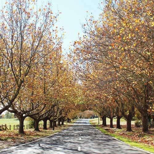 Autumn trees in Millthorpe